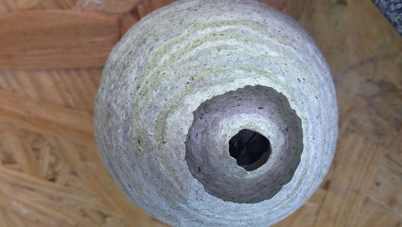 Wasps nest in a customers loft that needs removing before it gets any bigger
